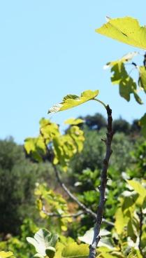 feuilles-de-figuiers-a-azzefoune