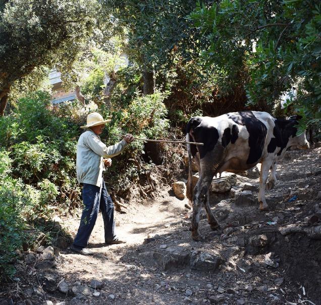 paysan-dazzefoune-et-sa-vache