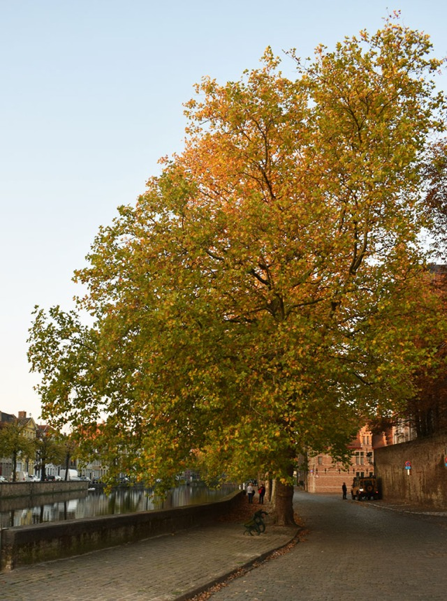 arbre de brugges en automne