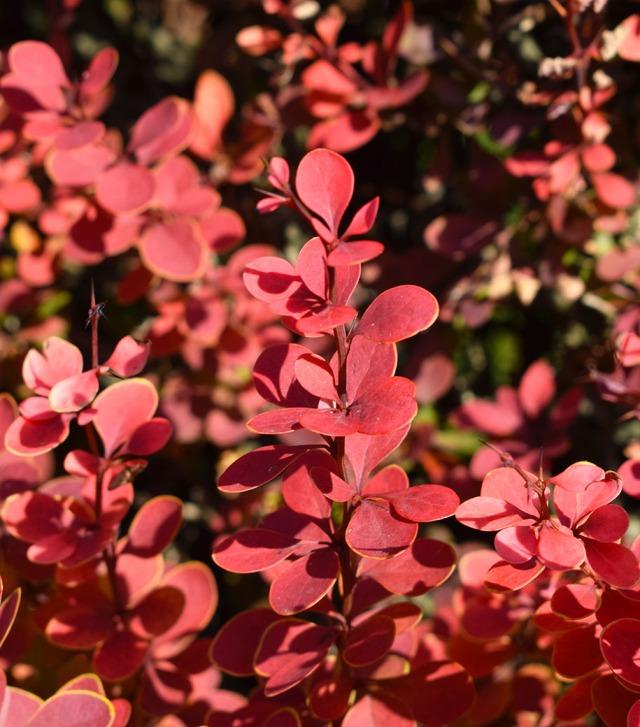 jolies feuilles rouges